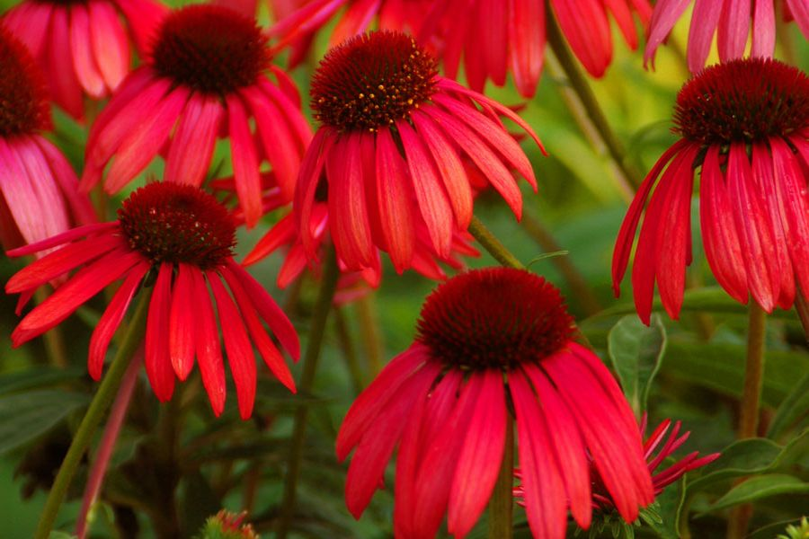 Vibrant new coneflower hybrid - Echinacea Twilight.  Picture courtesy of Itsaul Plants (www.itsaulplants.com)