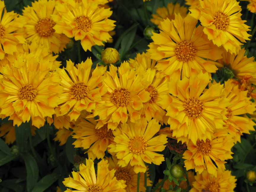 Coreopsis Early Coreopsis 'early Sunrise'