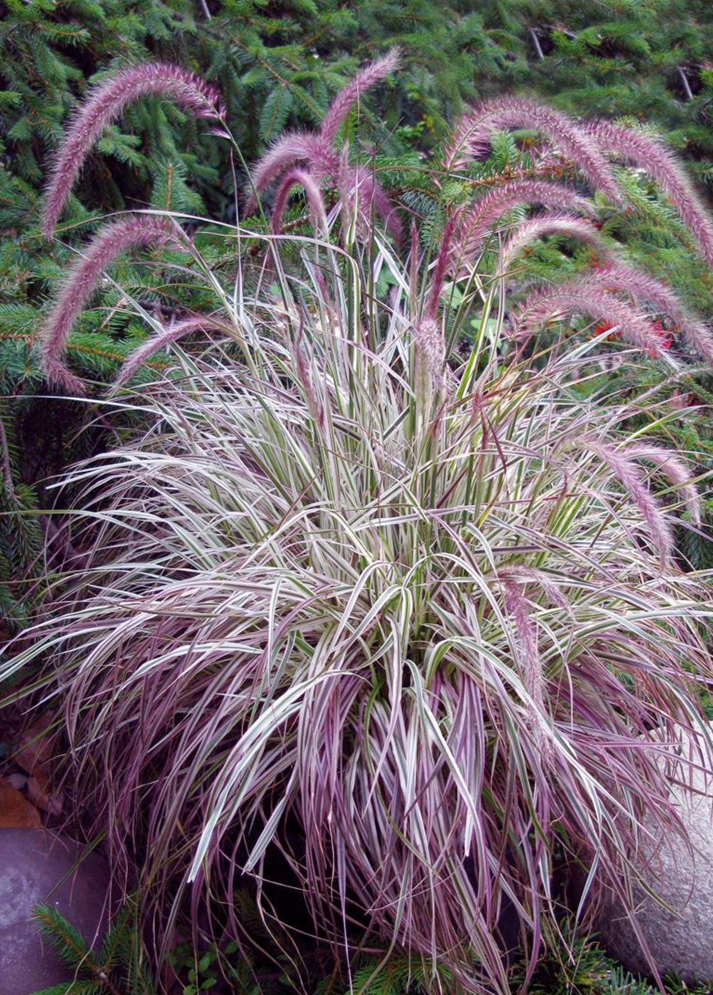 pennisetum 39 cherry sparkler 39 white and pink variegated