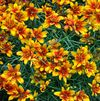 Coreopsis verticillata 'Sunset Strip' PP#22670