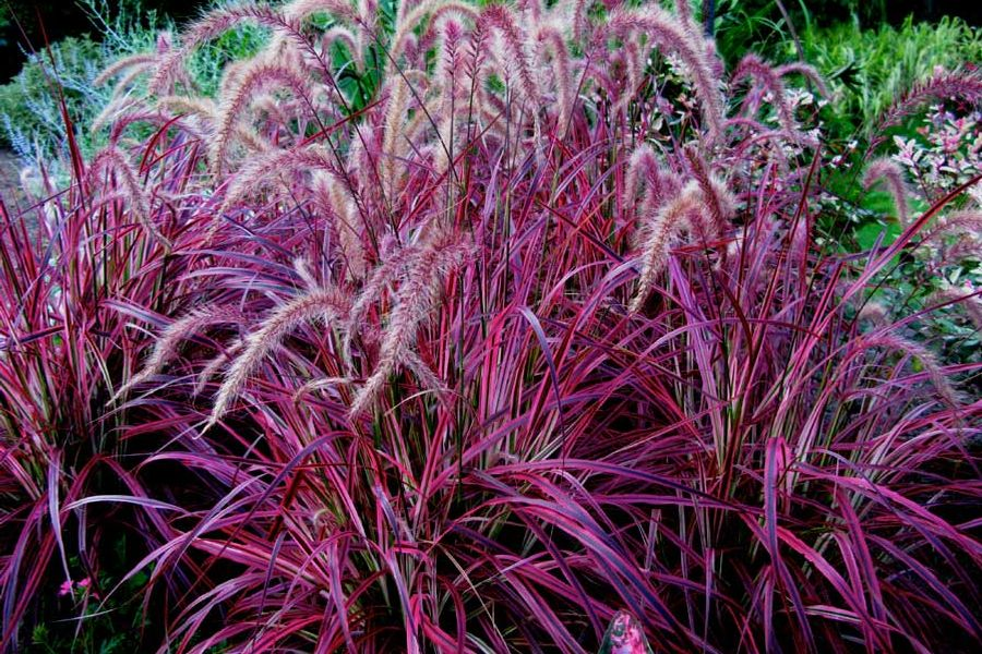 Itsaul plants for Tall red ornamental grass